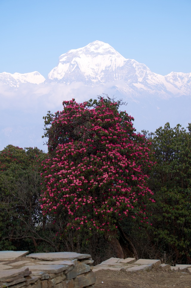 Annapurna and Rhodedendron Tree