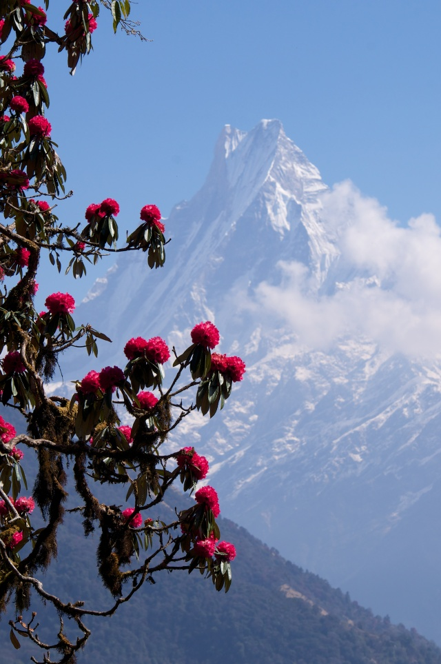 Rhodedendron blooms and Machhapuchare